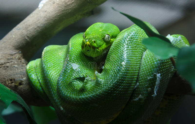 Greentree python in zoo. Green python snake royalty free stock images