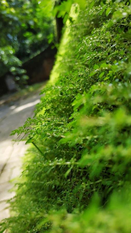 greenwall vert de nature de mur naturel photos stock