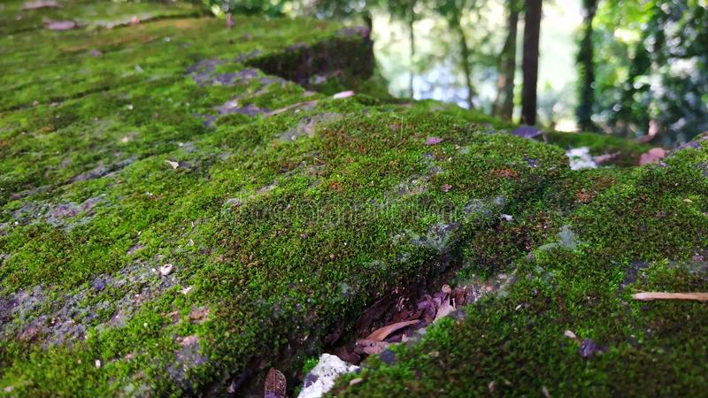 greenwall vert de nature de mur naturel photo stock