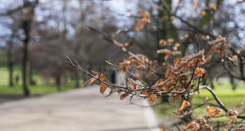 Greenwich parkerar - en filial med bruna torra sidor royaltyfri foto
