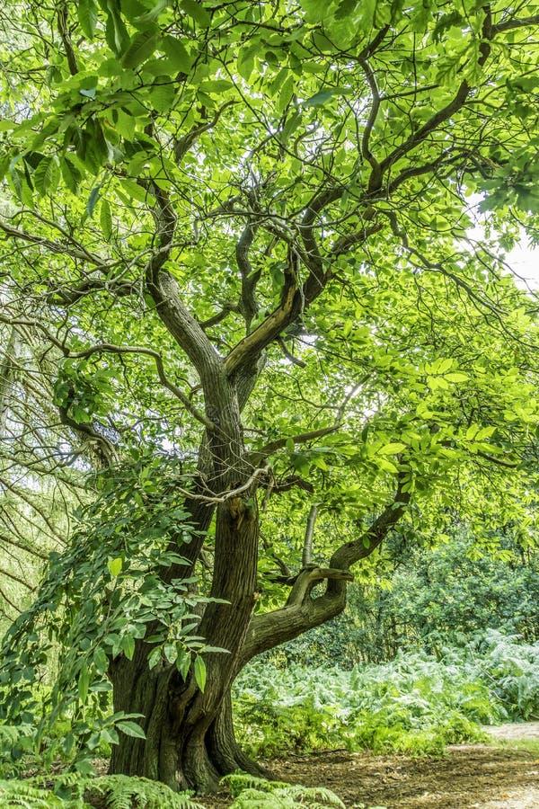 Greenwood drzewo zdjęcia royalty free