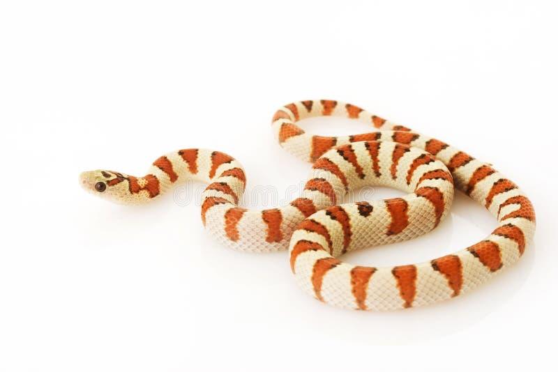Greer�s King Snake (Lampropeltis mexicana greeri) stock image