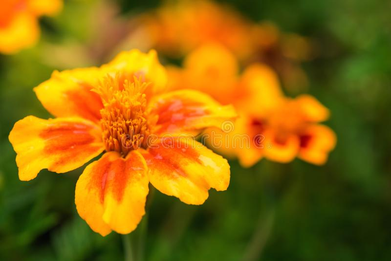 Greeting card with close-up of tagetes flower stock image