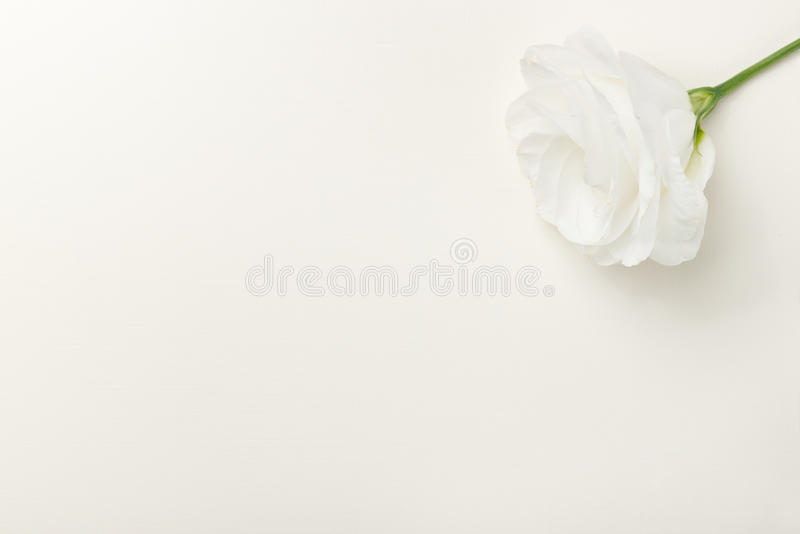 Download Greeting Card With White Rose Stock Image - Image: 21115415