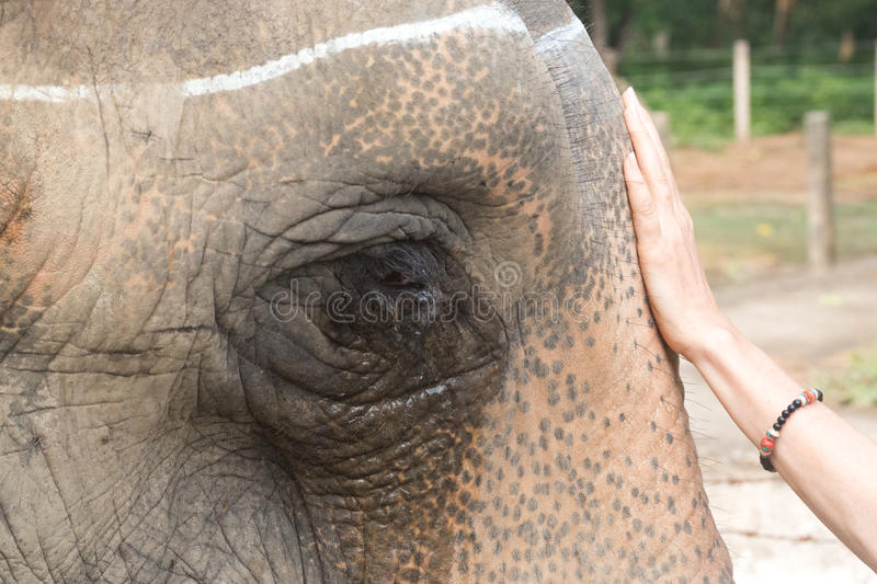 Greeting an elephant royalty free stock photography