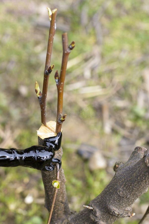 Greffe des arbres fruitiers photographie stock