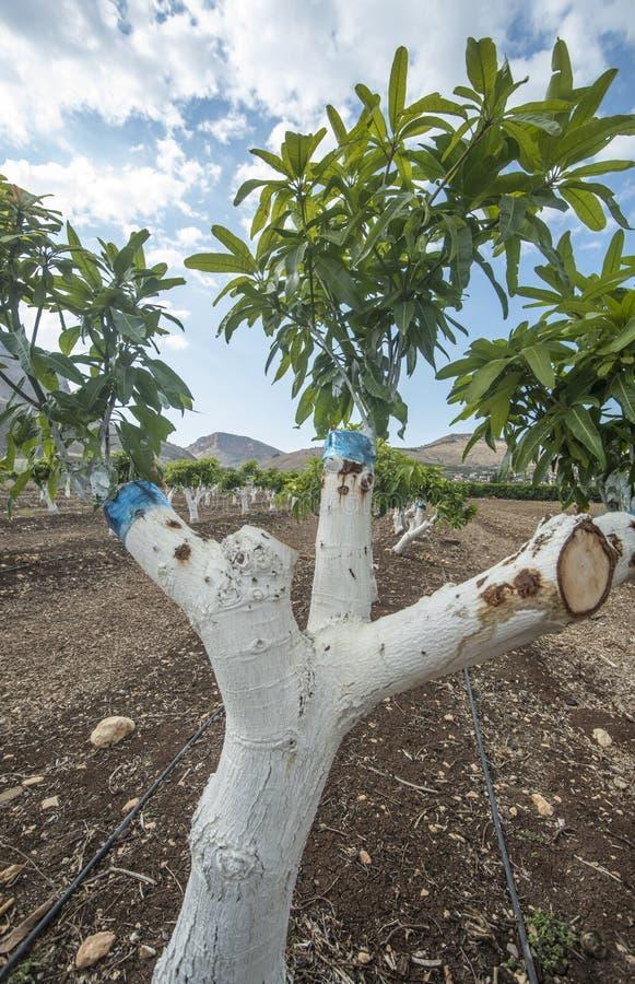 Greffe du manguier image stock