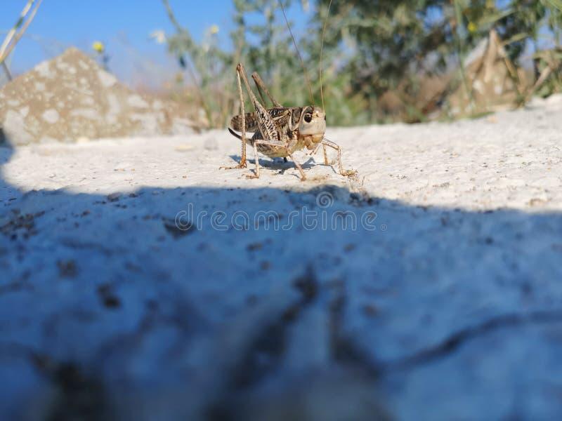 Gregaria de Schistocerca dos locustídeo do deserto que senta-se na superfície cinzenta da rocha imagem de stock