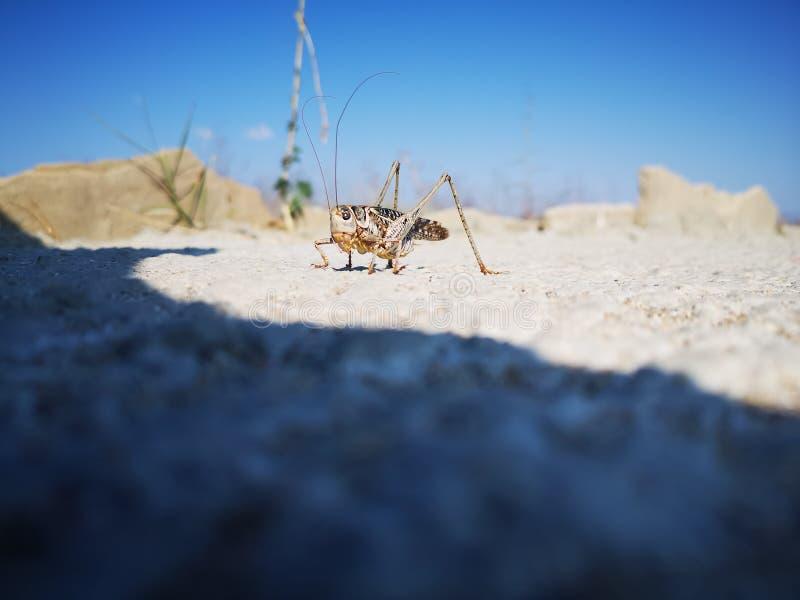Gregaria de Schistocerca dos locustídeo do deserto que senta-se na superfície cinzenta da rocha foto de stock