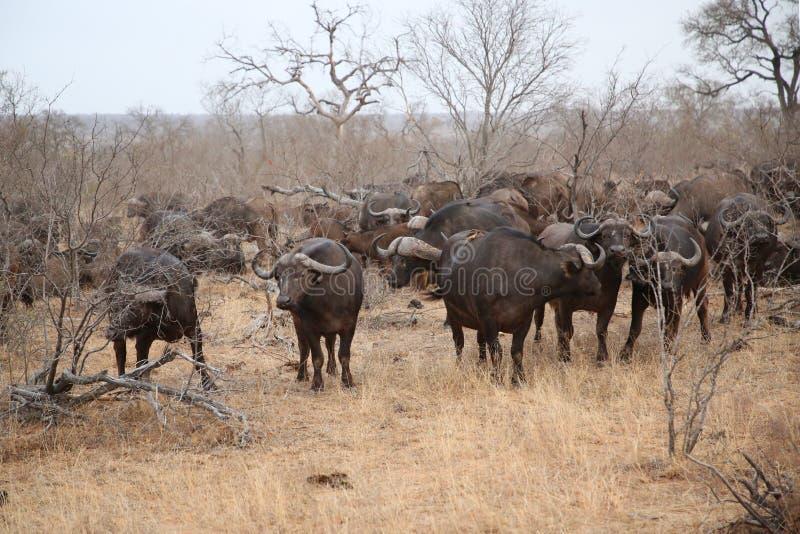 Gregge africano del bufalo del capo nel parco nazionale di Kruger, Sudafrica immagine stock libera da diritti
