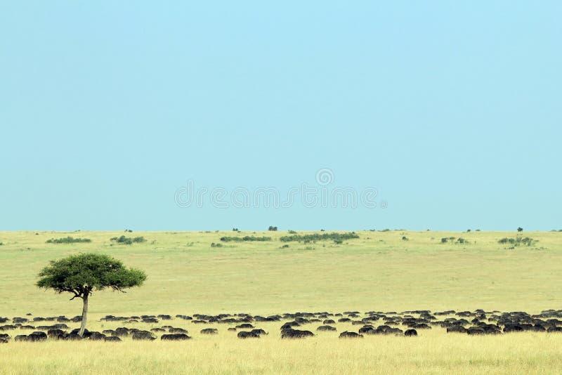 Gregge africano della Buffalo sulla savana immagine stock libera da diritti
