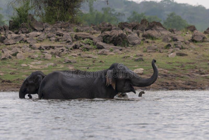 Gregge che bagna negli stagni di kabini, Kabini, Nagarhole, il Karnataka, India dell'elefante immagine stock