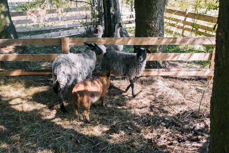 Gregge degli animali nelle pecore della foresta due, in due oche ed in una passeggiata del maiale sull'azienda agricola Allevamen fotografie stock libere da diritti