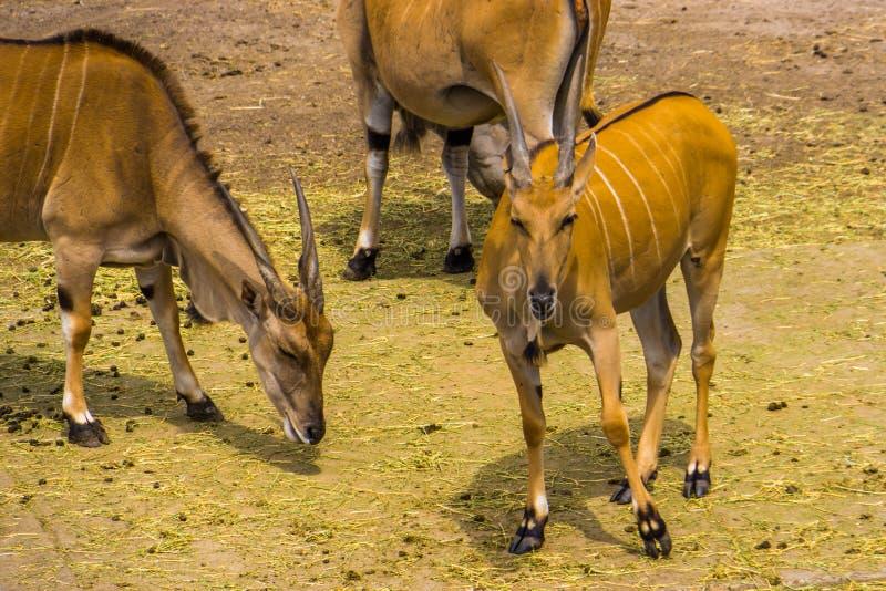 Gregge degli eland comuni insieme in primo piano, specie tropicale dell'antilope dall'Africa immagini stock libere da diritti