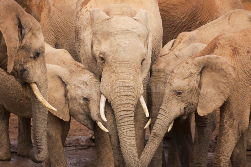 Gregge degli elefanti in Addo Elephant NP, Sudafrica fotografia stock libera da diritti