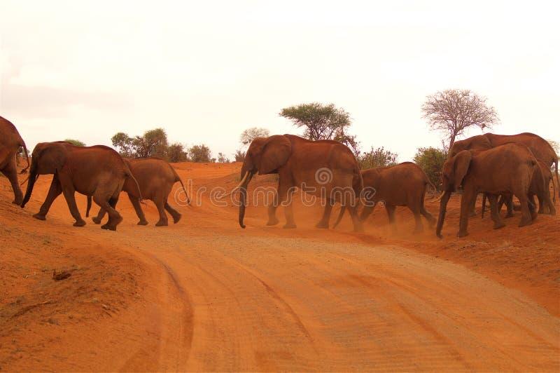 Gregge degli elefanti in Africa nella sera fotografie stock