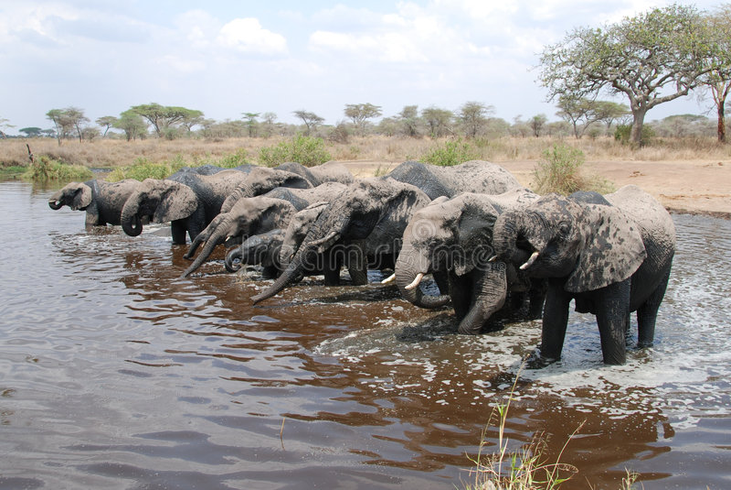 Gregge degli elefanti africani immagini stock