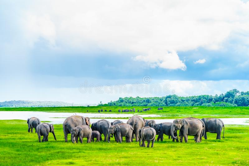 Gregge degli elefanti nel parco nazionale di Kaudulla, Sri Lanka fotografie stock
