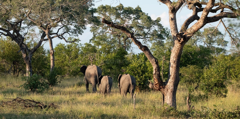 Gregge degli elefanti osservati da dietro al parco di safari di Sabi Sands, Kruger, Sudafrica fotografie stock libere da diritti