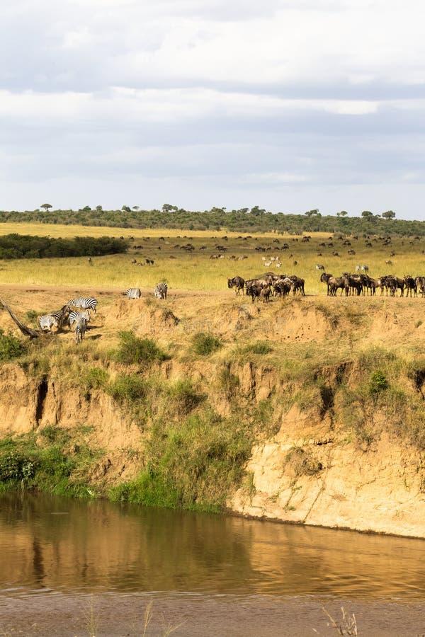 Gregge degli erbivori sul precipizio del hige l'africa fotografia stock libera da diritti