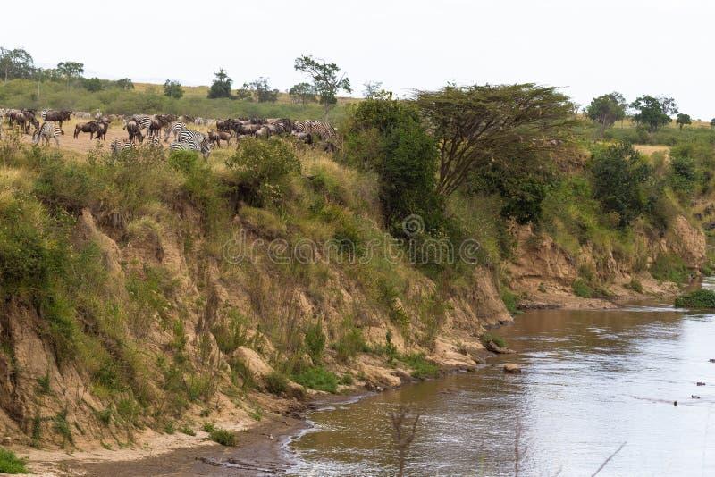 Gregge degli erbivori sulla banca ripida del fiume di Mara Il Kenia, Africa fotografia stock libera da diritti