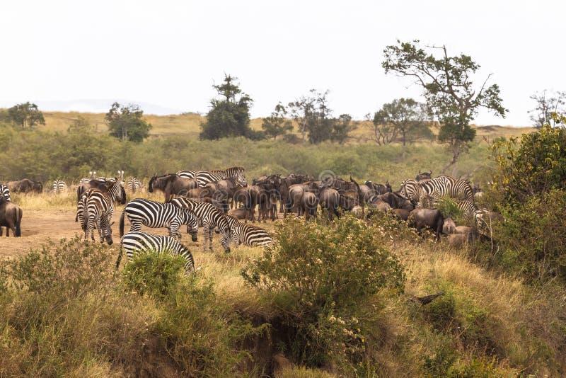 Gregge degli erbivori sulla banca ripida del fiume Fiume di Mara, Kenia fotografie stock