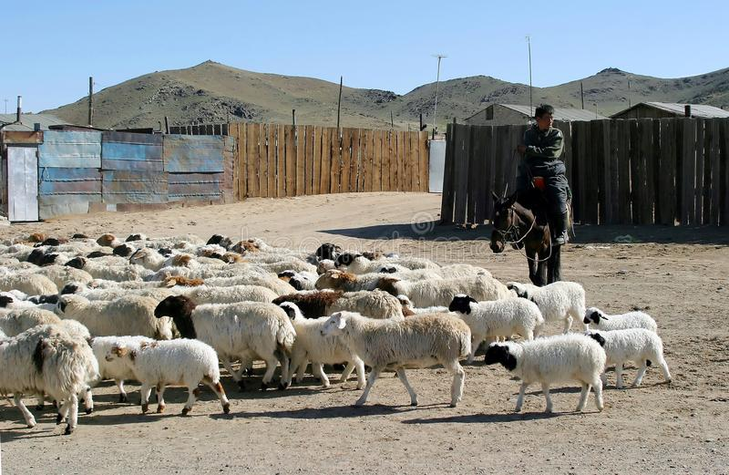 Gregge degli sheeps in Mongolia fotografia stock libera da diritti