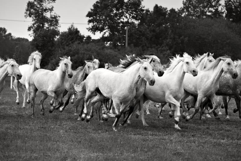 Gregge dei cavalli fotografie stock libere da diritti