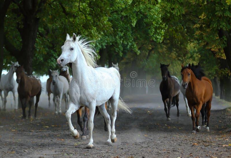 Gregge dei cavalli arabi sulla strada del villaggio immagine stock libera da diritti