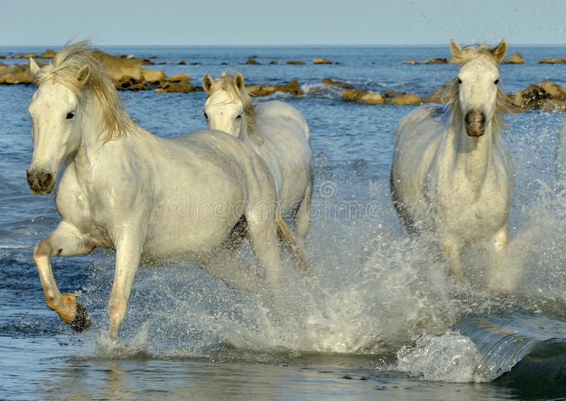 Gregge dei cavalli bianchi di Camargue che corrono sull'acqua fotografie stock