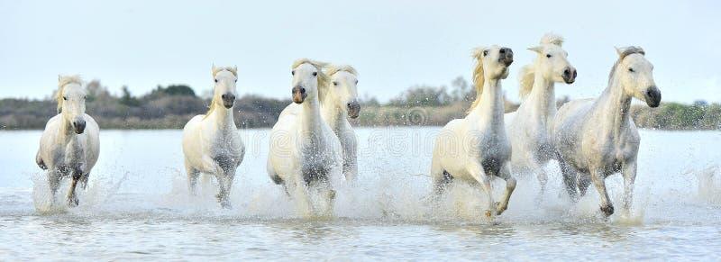 Gregge dei cavalli bianchi di Camargue che passano acqua fotografia stock