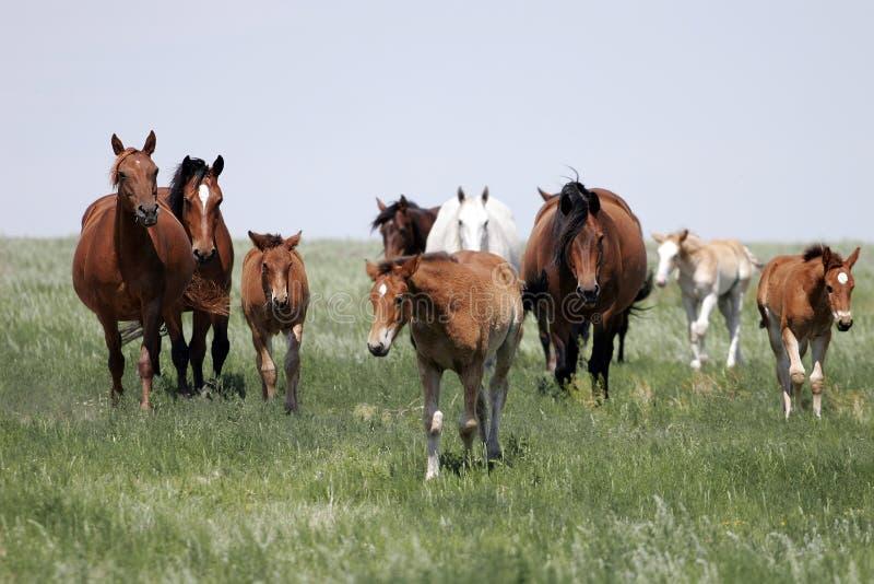 Gregge dei cavalli (cavalle & bambini) fotografia stock