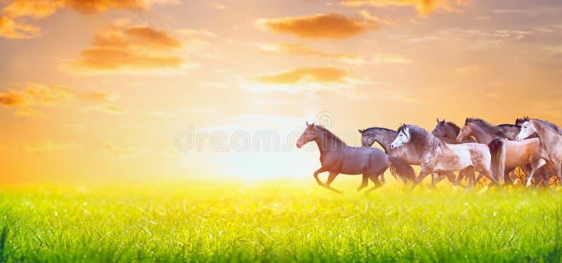 Gregge dei cavalli che corrono sul pascolo soleggiato di estate sopra il cielo di tramonto, insegna per il sito Web immagini stock