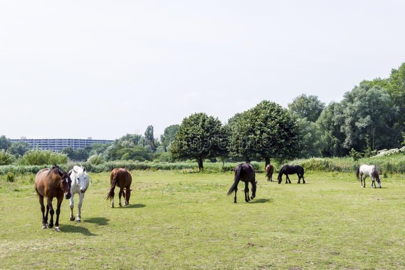 Gregge dei cavalli contro il bello ckgroundba verde fotografie stock