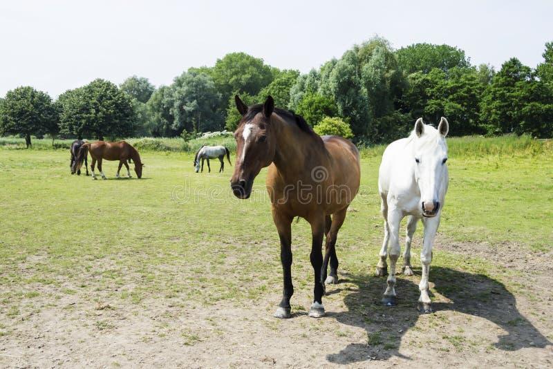 Gregge dei cavalli contro la terra della parte posteriore di verde immagini stock
