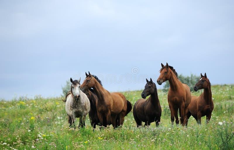 Gregge dei cavalli selvaggi sul campo fotografie stock