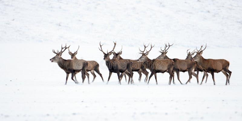 Gregge dei cervi nobili, cervus elaphus, maschi nell'inverno su neve fotografia stock