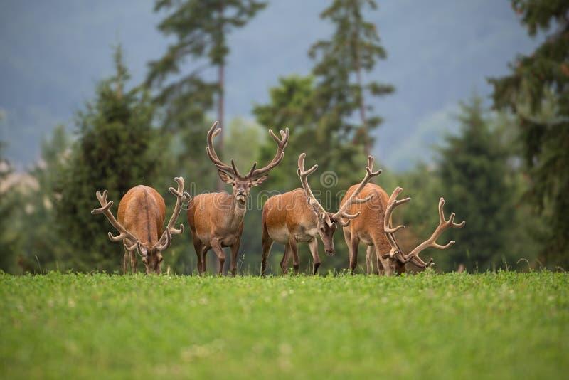 Gregge dei maschi dei cervi nobili con i corni in velluto immagine stock