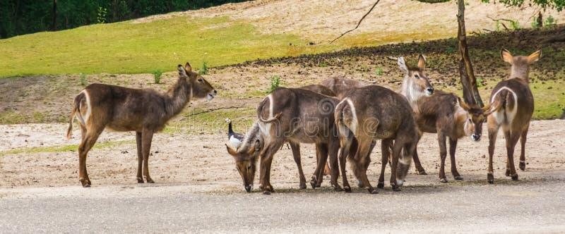 Gregge dei waterbucks femminili che stanno insieme, specie dell'antilope dall'Africa immagini stock libere da diritti