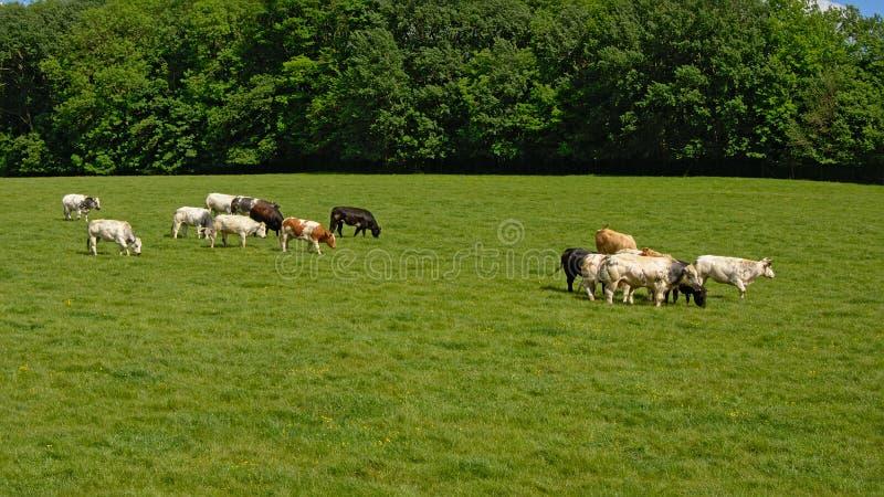 Gregge del bestiame del frisone dell'Holstein che pasce in un prato immagine stock libera da diritti