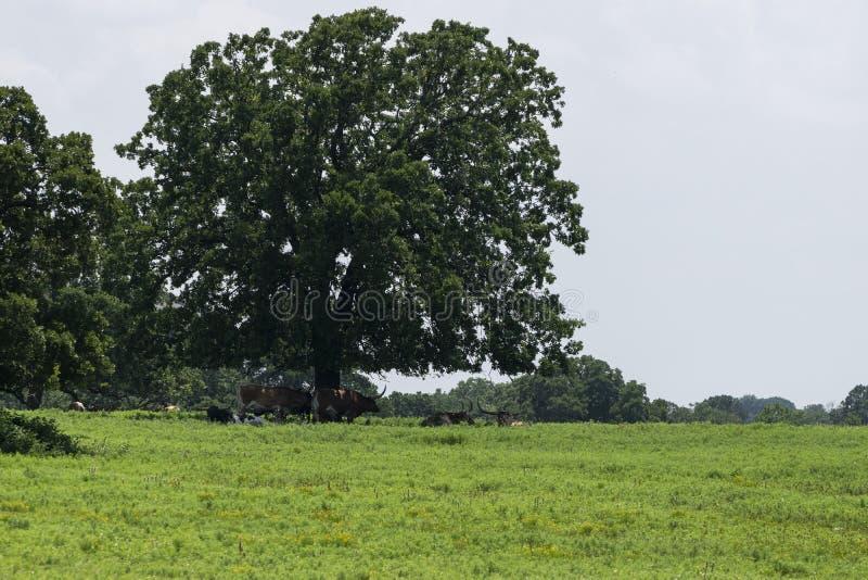 Gregge del bestiame della mucca texana che riposa sotto l'albero immagine stock libera da diritti