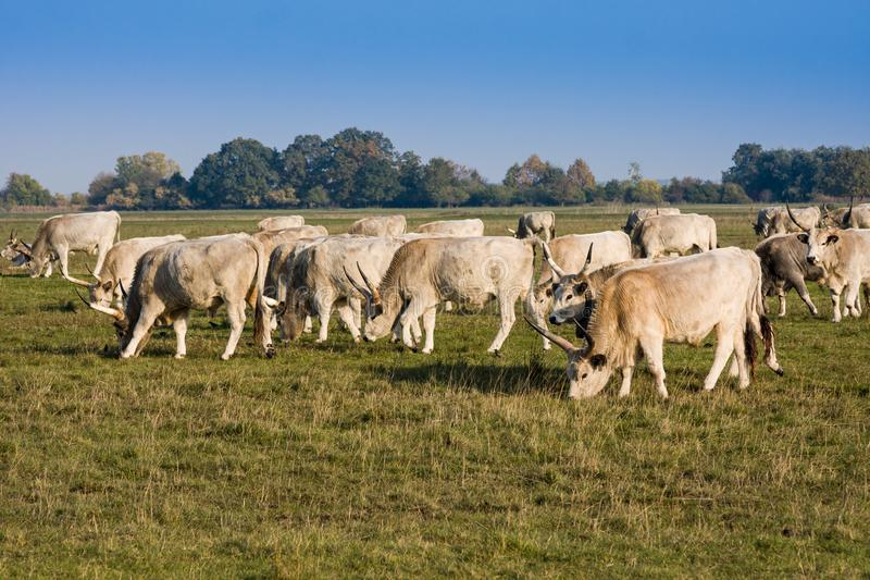 Gregge del bestiame grigio ungherese della steppa che pasce sul prato Hortobagy immagine stock libera da diritti