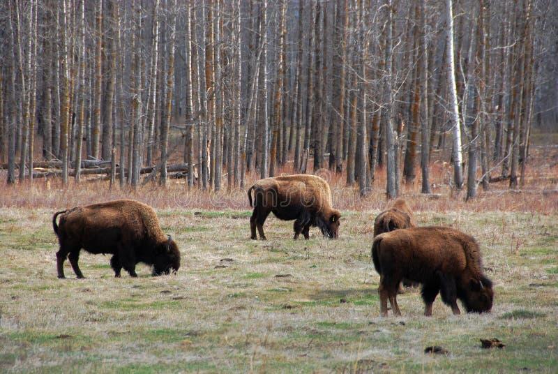 Gregge del bisonte immagine stock libera da diritti