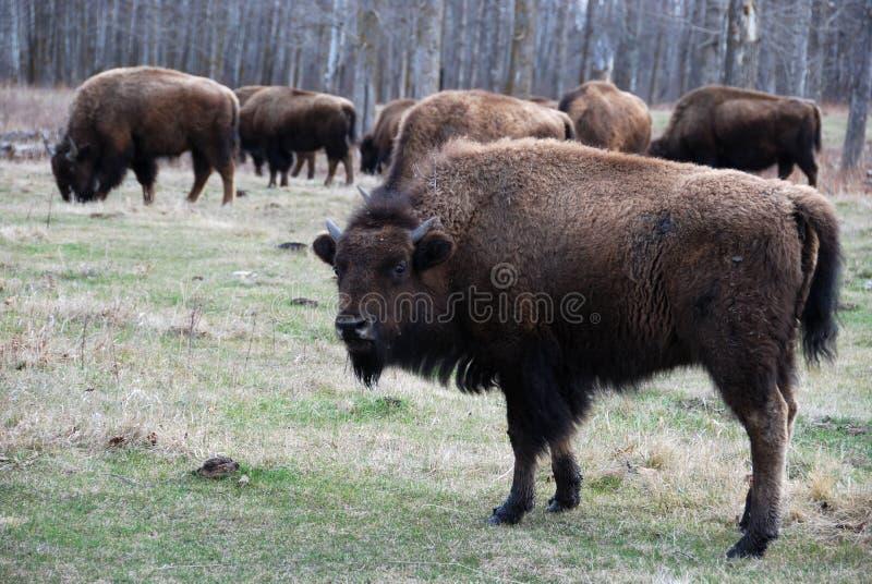 Gregge del bisonte immagine stock