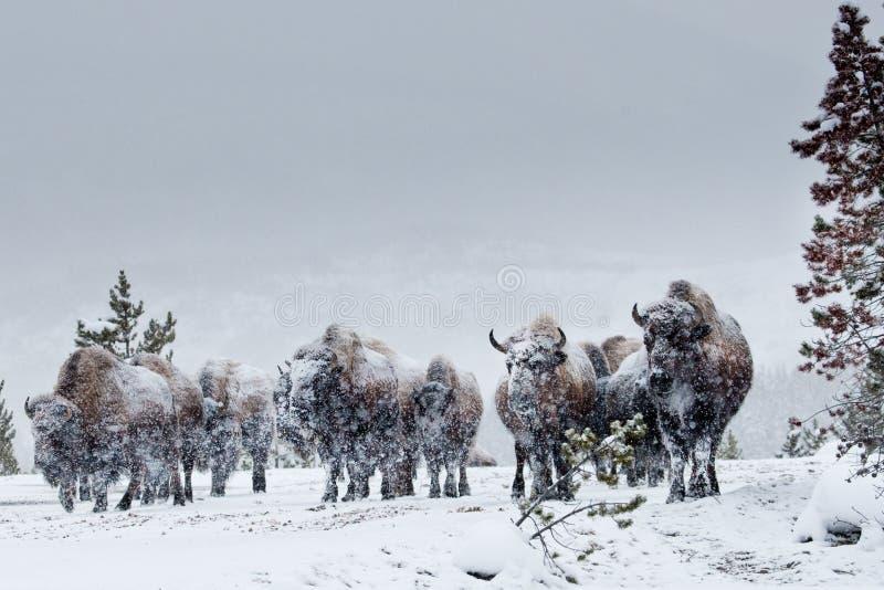 Gregge del bisonte americano fotografie stock