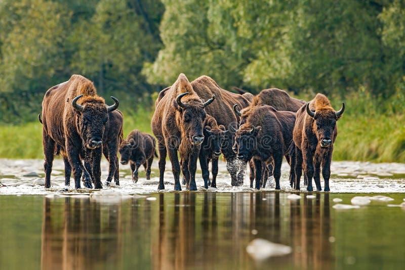 Gregge del bisonte europeo, bonasus del bisonte, attraversante un fiume immagini stock