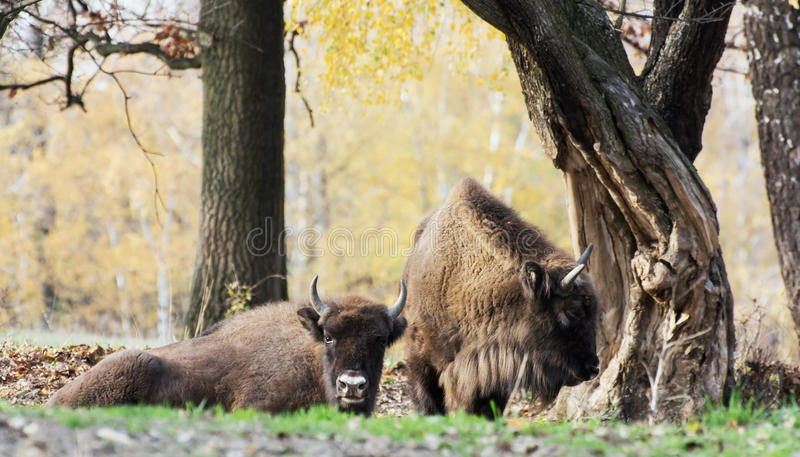 Gregge del bisonte europeo selvaggio (bonasus del bisonte) in autunno deciduo fotografie stock libere da diritti