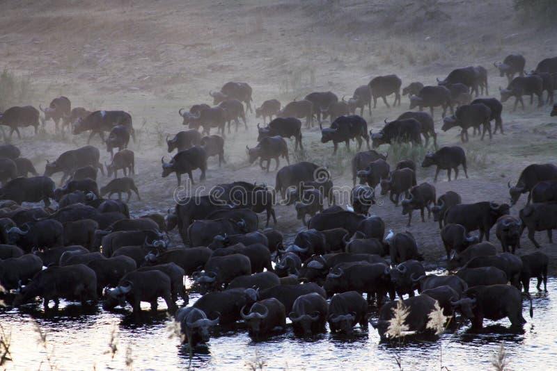 GREGGE DEL BUFALO AFRICANO (BUFALO DI CAPO) immagine stock libera da diritti