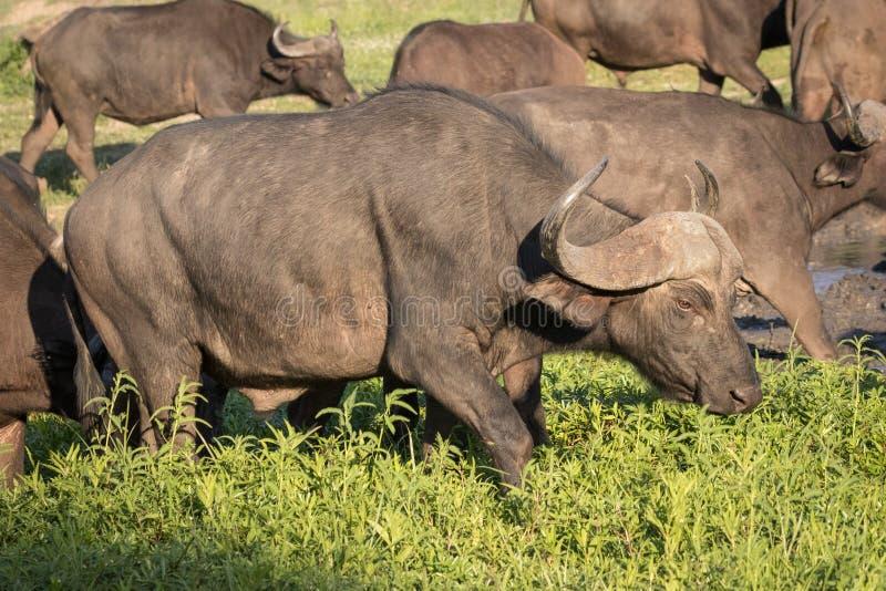 Gregge del bufalo africano del capo fotografie stock