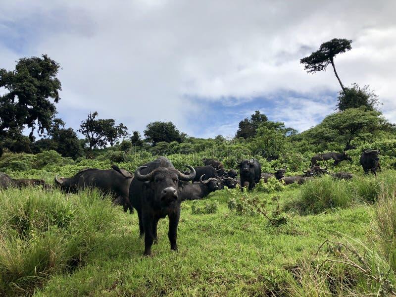 Gregge del bufalo africano del capo del bufalo che raccoglie i loro voti per il punto di pascolo seguente al cratere di Ngorongor immagine stock
